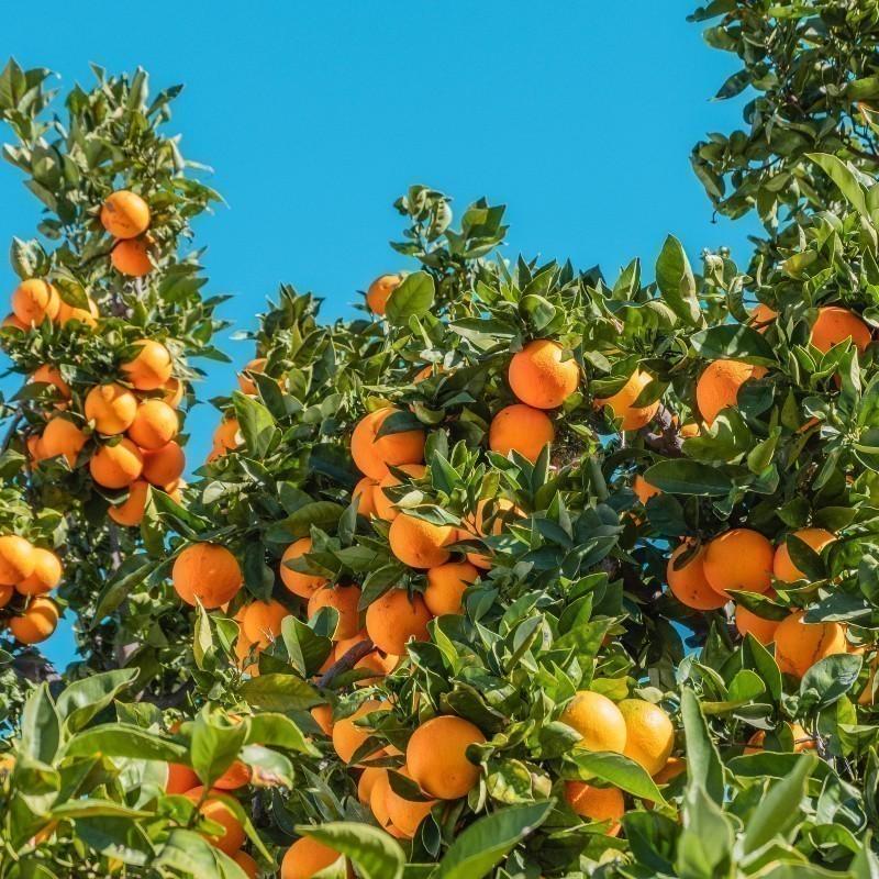 Η «πράσινη» πρωτοβουλία της Σεβίλλης: Τα πορτοκάλια μετατρέπονται σε ηλεκτρικό ρεύμα για το καλό του πλανήτη