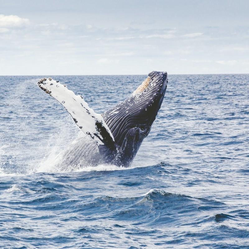 Γαλλία: Για πρώτη φορά θεάθηκε γαλάζια φάλαινα στα γαλλικά παράλια στη Μεσόγειο